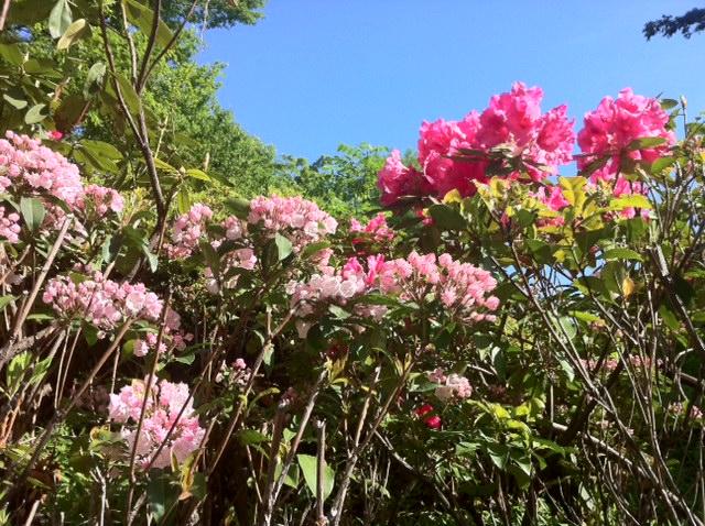 カルミラと石楠花